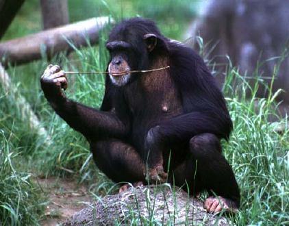 Chimpanzee-22